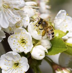 One of the first signs of spring on a honey farm is a particular buzz in the air. After spending all winter cooped up indoors with several thousand family members, the worker bee understandably has a serious case of spring fever.