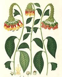 Inicio de Dibujos de la Real Expedición Botánica del Nuevo Reino de Granada (1783-1816) dirigida por José Celestino Mutis (Real Jardín Botánico CSIC)   Lobelia