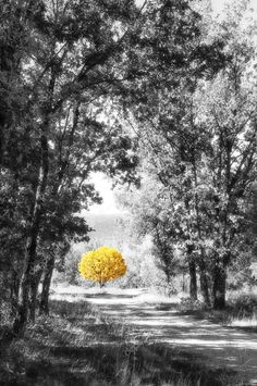 Yellow tree in the path of the forest in black and white a bright autumn day Yellow Photography, Splash Photography, Photo Black, Black And White Pictures, Color Splash Photo, Splash Images, Yellow Tree, Beach Wallpaper, Fall Pictures