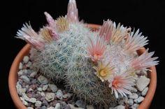 Mammillaria candida SB 109