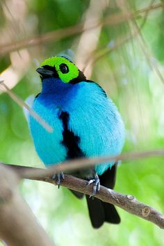 Paradise Tanager.  Found in humid tropical and subtropical forests in the western and northern Amazon Basin in South America, it occurs in Venezuela, Peru, Colombia, Ecuador, Bolivia, Brazil and the Guianas.