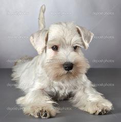 Cachorros de schnauzer miniatura blanco — Foto de stock © magone ...