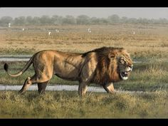 Animals Documentaries Lion's Most Dangerous Enemy National Geographic| L...