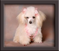 light apricot teacup poodle