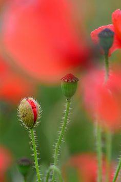 Poppies (My ultimate favorite flower)