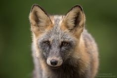 Beautiful Fox - A beautiful fox in the forest near Tweedsmuir Provincial Park, BC, Canada.