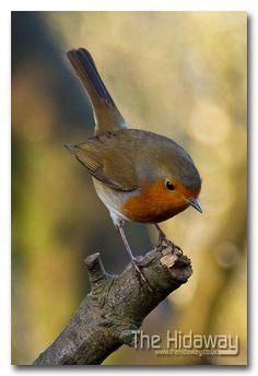 Tehidy Robin ♥