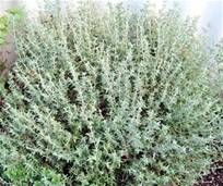 How to grow your own Thyme , a fact sheet on growing Thyme with links to further information, Thyme seeds etc. from horticulture writer John Harrison
