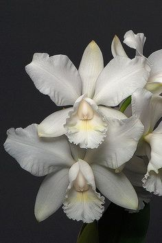 Orchid 'Summer Star'