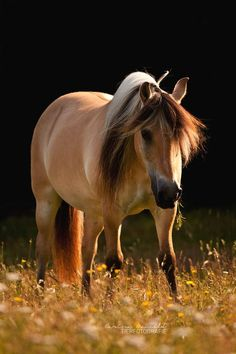 """Amazing nature animal photography """"In the morning."""" by *equine-images fjord horse Most Beautiful Animals, Beautiful Horses, Beautiful Creatures, Beautiful Images, Majestic Horse, Majestic Animals, Equine Photography, Animal Photography, Fjord Horse"""