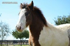 Gypsy Vanner Horses for Sale | Colt | Skewbald Bay & White Spotted | Willie