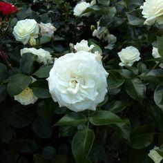 White Innocence #Rose #White #Rosegarden #Cologne #Rosengarten...