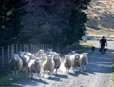 We visited a local sheep farmer, who also competes in herding competitions and has won nationally. He taught us all about herding and how he uses whistles to communicate with his dogs, even when they're out of sight over hills and across fields. He manages a team of 5 dogs, and with them can herd hundreds of sheep at a time. Photo by Tyler Lavender.