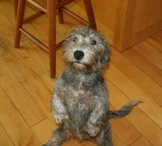 Glen of Imaal Terrier-the glen sit Terrier Breeds, Terrier Mix, Cairn Terriers, White Terrier, Terrier Dogs, Chihuahua Dogs, Dogs And Puppies, Quiet Dog Breeds, Irish Dog Breeds