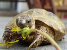 Russian Tortoise Diet Guide / Helpful Tips And Tricks Tortoise As Pets, Tortoise Food, Sulcata Tortoise, Tortoise Care, Russian Tortoise, Turtle Love, Pet Turtle, Turtle Ring, Reptiles And Amphibians