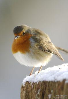 http://www.oiseaux.net/photos/marc.fasol/images/rougegorge.familier.mafa.1g.jpg