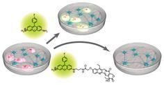 京大iCeMS、腫瘍化の恐れのある未分化細胞を除去する化合物を開発 | マイナビニュース