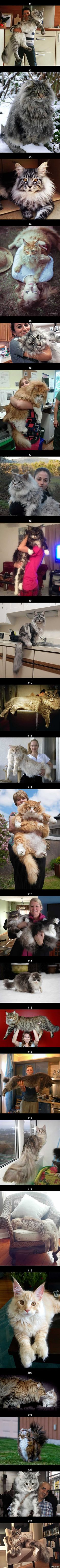 23 Maine Coon Cats That Will Make Your Cat Look Tiny