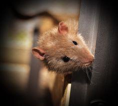 Ratte, Farbratte, Nagetier, Tier, Säugetier, Ohren
