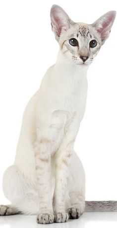 Modern Siamese cat Blue Point