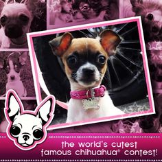 It's the last day to enter YOUR Chihuahua's picture in The 2013 World's Cutest Famous Chihuahua Contest! WIN BIG! Go here to enter! http://www.famouschihuahua.com/worlds-cutest