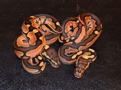 Desert Mystic Pastel - Morph List - World of Ball Pythons