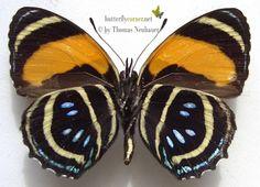 ButterflyCorner.net: Callicore aegina