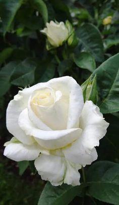 Para nuestra querida hermana ROSITA con mucho dolor y amor Isidre,Juanita y jordi