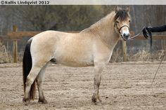 Gotland Pony - stallion My Lion The Brave