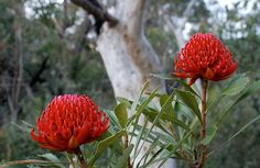 Combining several hiking tracks, this extended day walk is one of the region's best, taking in scenic views of the coast and Sydney, with access to nearby forest picnic spots. Australian Wildflowers, Small Trees, Native Plants, Red Flowers, Shrubs, Flower Art, Things To Do, Flora, National Parks
