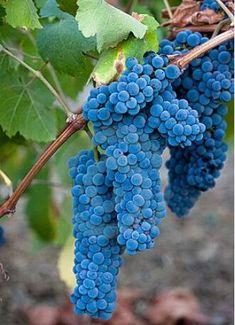 50 pcs/bag Grape seeds bonsai grape tree organic fruit seeds delicious food seeds Miniature Grape Vine easy grow plant pot