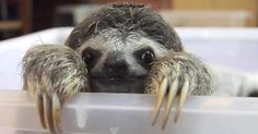 Things that make you go AWW! Like puppies, bunnies, babies, and so on. A place for really cute pictures and videos! Pictures Of Sloths, Sloth Photos, Animal Pictures, Cute Pictures, Funny Sloth, Funny Cats, Baby Sloth, Animal Antics, Welcome To The Jungle