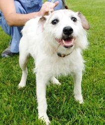 Larry is an adoptable Jack Russell Terrier Dog in Clinton, IN. Larry came to the shelter on 07/03/13 from another area rescue. He is an adorably -funny looking Jack Russell mix who is approximately 2 ...