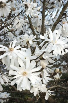 Royal Star Magnolia, a small tree that usually blooms before the leaves appear.