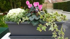 jardinière d'automne-hiver Cyclamen, lierre, choux, myrthe, graminées, cinéraires.