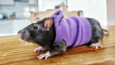 It's becoming sweater weather! : RATS Informations About It's becoming sweater weather! : RATS Pin You can easily use my … Rat Cage Diy, Pet Rat Cages, Hamster Clothes, Guinea Pig Clothes, Rare Animals, Animals And Pets, Fluffy Animals, Strange Animals, Rata Dumbo