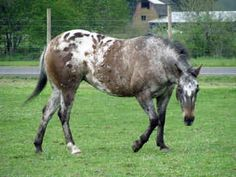 pony of the americas | ponies of americas horses lillie back 6 of 25 next