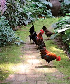 ...chickens cluck about busily...