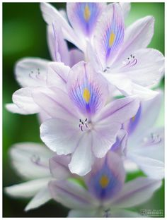 The Water Hyacinth is a super easy pond plant you can keep in container ponds.