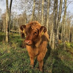 Highland Cattle Cow #highlandcattle #highlandcow #cow #cows #cattle #cowsofinstagram #牛 #nature #country_features #horns #farmlife #countrylife #Farm #countryside #rural #lehmä #countrylifestyle1 #leppävirta #ylämaankarja #ig_countryside #ig_highlandcows #pocket_farms #lifeonthefarm #farmanimals #vasikka #calf #calves #cute #goodhairday