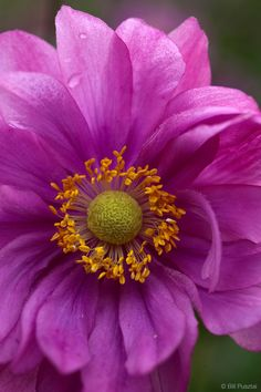 Anemone japonica, double variety.
