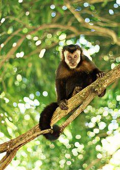 Capuchin monkey (Cebus apella) by AnnuskA