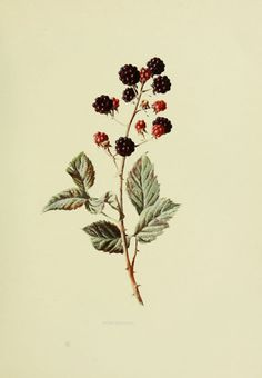 Gravures fruits sauvages - Gravures fruits sauvages 115 blackberry - rubus fruticosus - ronce a mures - Gravures, illustrations, dessins, images