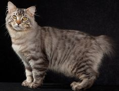 The American Bobtail is an uncommon breed of domestic cat which was developed in the late is most notab. American Bobtail Cat, American Wirehair, Cat Exercise Wheel, Purebred Cats, Japanese Bobtail, Cat Anatomy, American Shorthair, Exotic Cats, Fancy Cats