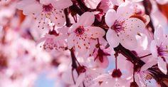 Primavera no Japão – O espetáculo da flor de cerejeira