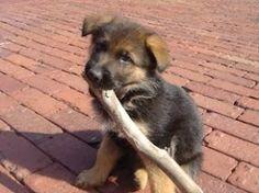 Romeo - 3 months old german shepherd