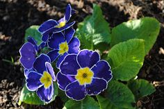 blue polyanthus closest match I have found for 'Propellers' polyanthus http://pinterest.com/pin/437764026248898159/