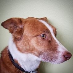 Aidan headshot #dog #dogs #dogoftheday #dogsofinstagram #instagramdogs #instagramdog #instadog #pet #pets #petoftheday #petsofinstagram #instapet #instagrampet #instagrampets #bordercollie #aussie #bordercolliesofinstagram #austrailianshepherd #ilovemydog #redheeler #cattledog #cattledoglove ##marketingassistant #seattledog