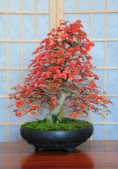 ~ Korean Hornbeam Bonsai Tree, Carpinus Turczaninowii, Red Autumn Colours by Steve Greaves.  ~