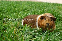 Remember to keep an eye out for predators when your guinea pigs are munching grass on the lawn! Predators may include: hawks, raccoons, cats, and other urban wildlife. Guinea Pig Care, Guinea Pigs, Raccoons, Happy Animals, Hawks, Predator, Bunnies, Grass, Wildlife